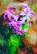 David Lane - Candy Striped Hyacinth