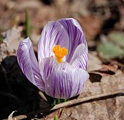 David Lane - Striped Crocus